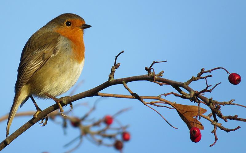 Comptage national des oiseaux de jardin les 27 & 28 janvier 2018
