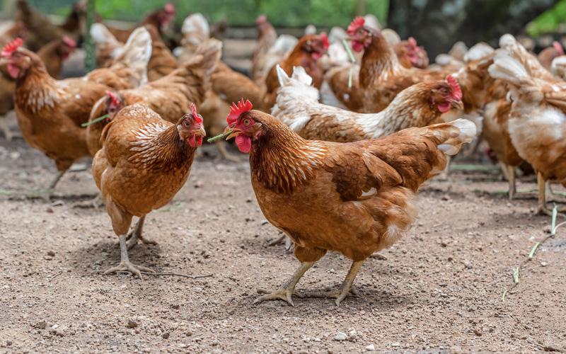 Loire-Atlantique : adoptez une poule et sauvez-la de l'abattoir