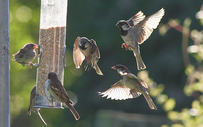 Idée confinement : participez à un inventaire des oiseaux de jardin