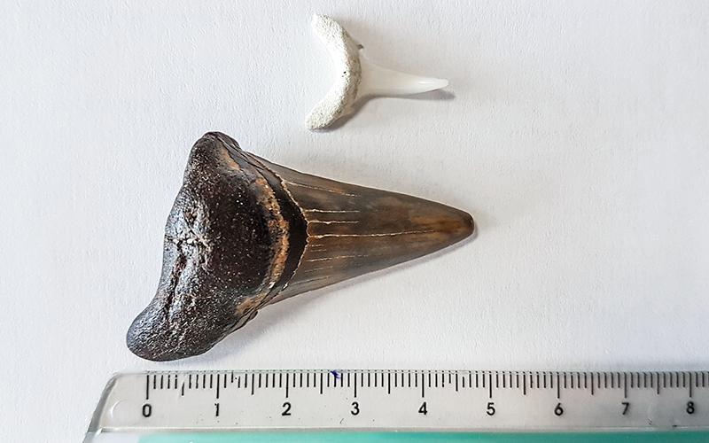 Insolite : un pêcheur trouve une dent de requin préhistorique au large du Croisic