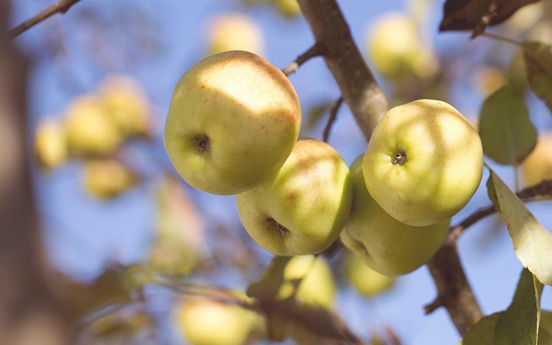 Pornichet : un pressoir ambulant pour presser les pommes de votre jardin