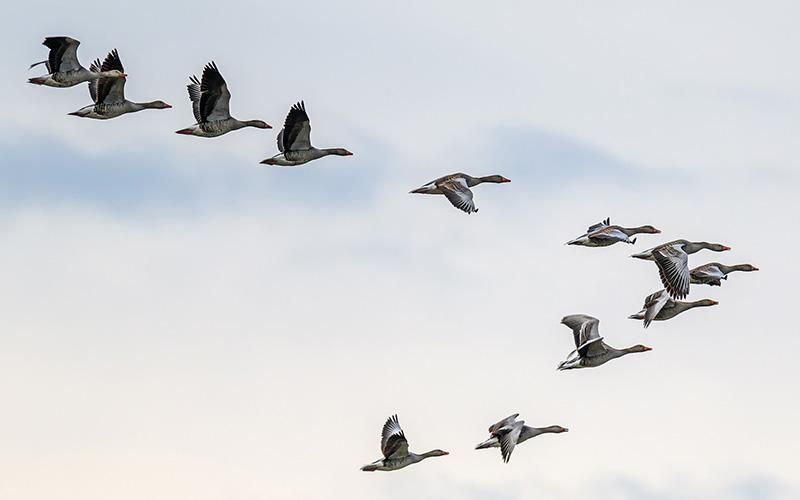 Loire-Atlantique : les oiseaux menacés par un virus