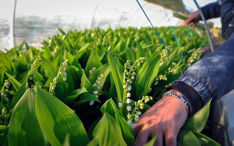 Loire-Atlantique : la cueillette du muguet a besoin de 2500 saisonniers