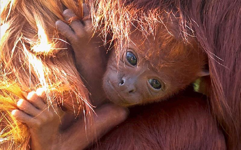 Planète Sauvage : naissance d'un singe hurleur roux