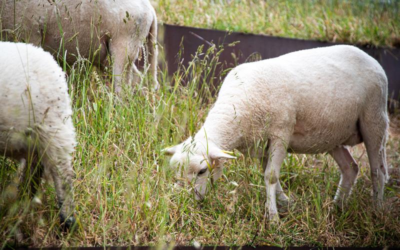 Pornichet : les moutons du Parc Paysager sont partis en vacances